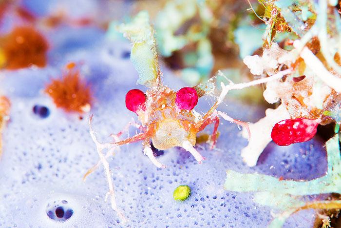 毛むくじゃらのニシキフウライウオも!サンゴの海の珍しい生き物たち