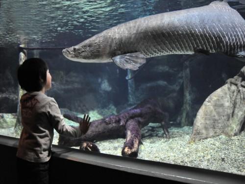 水族館アクア・ととぎふのピラルク