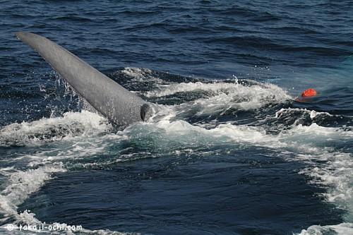 スリランカのシロナガスクジラの糞?(撮影:越智隆治)