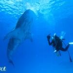 セブ島、オスロブのジンベエザメとカメラ女子ダイバー(撮影:越智隆治)