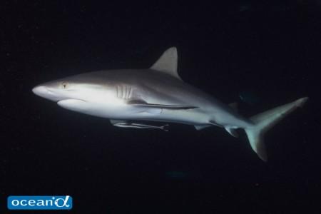 オーストラリア、GBRのナイトダイビングのサメ(撮影:越智隆治)