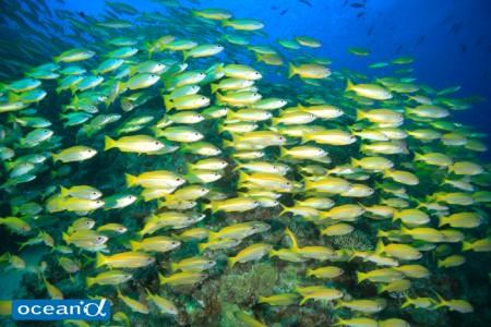オーストラリア、GBRの魚の群れ(撮影:越智隆治)