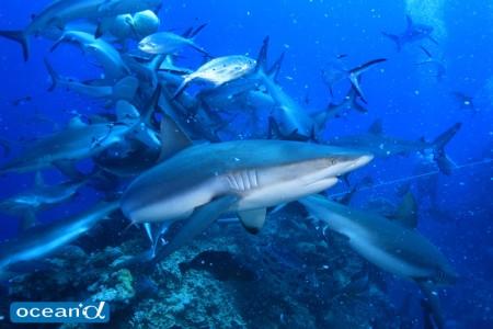 オーストラリア・GBRのサメ、シャークフィーディング(撮影:越智隆治)