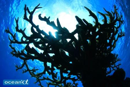 オーストラリア、GBRのサンゴ(撮影:越智隆治)