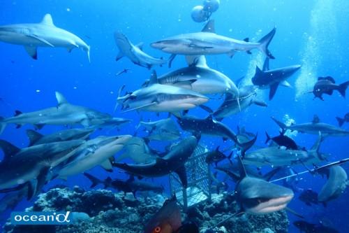 オーストラリア、オスプレイリーフのサメの群れ(撮影:越智隆治)