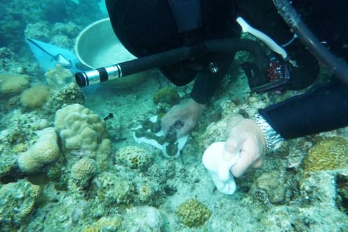 慶良間諸島でのサンゴの植え付け