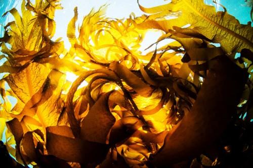 葉山の海の海藻(撮影:岡田裕介)