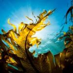 葉山の海の海藻・ワカメ(撮影:岡田裕介)