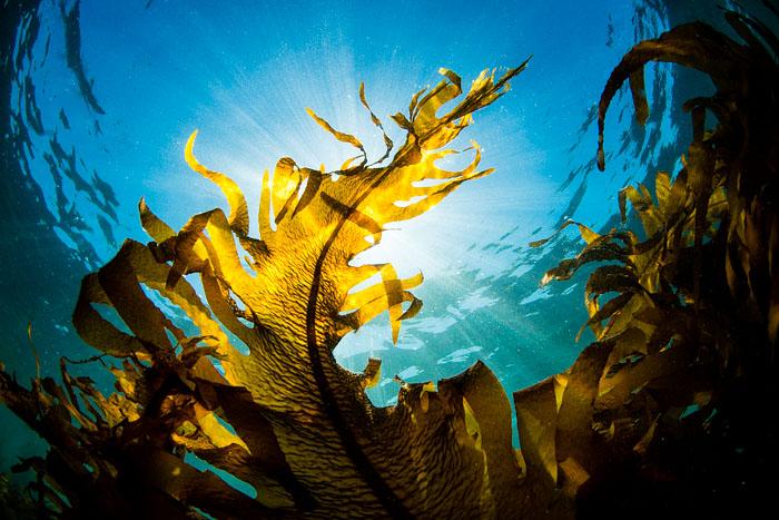 太陽の光が降りそそぐ葉山の海、その海藻の森の美しさ