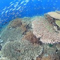ラジャアンパットのサンゴと魚の群れ(撮影:越智隆治)