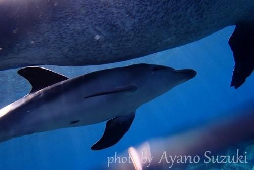 御蔵島のへその緒が残る赤ちゃんイルカ(撮影:鈴木あやの)