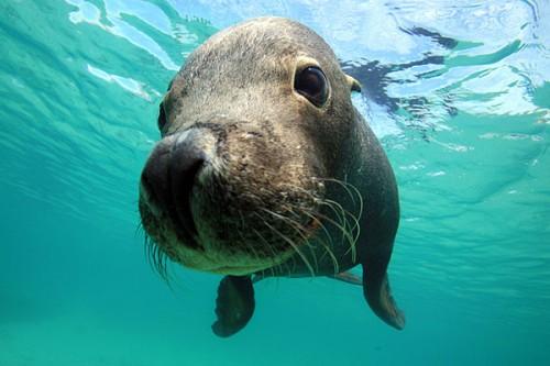 アシカと一緒に泳ごう!オーストラリアのパース、カナック島ocean+α(オーシャナ)について目的別サイトマップダイビングショップとダイビングスポットの情報をさがす