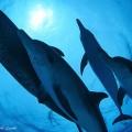 バハマのドルフィンクルーズのイルカ(撮影:越智隆治)