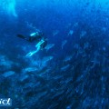 セブ島のギンガメアジの群れ(撮影:高砂淳二)