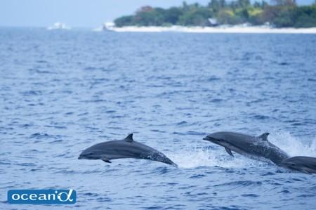 セブ島のサラワクイルカの群れ(撮影:高砂淳二)