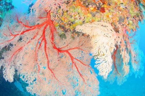 宮古島の八重干瀬「コラビジ」のソフトコーラル(撮影:むらいさち)