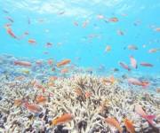 次の記事: ハナダイが乱舞する極楽サンゴスポット「八重干瀬(やびじ)」