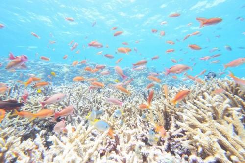 宮古島の八重干瀬「コラビジ」のサンゴとキンギョハナダイの群れ(撮影:むらいさち)