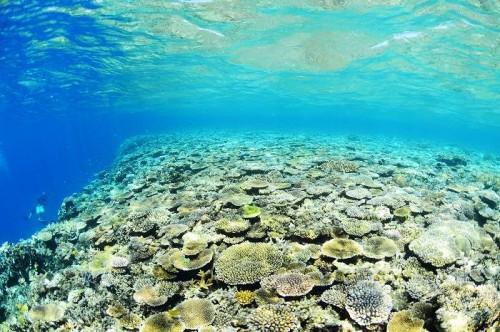 宮古島の八重干瀬「コラビジ」のサンゴ(撮影:むらいさち)