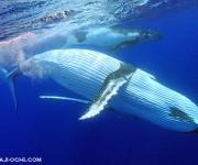 前の記事: 今年もザトウクジラと泳ぎにトンガ王国へ出発!