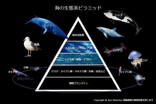 海の生態系ピラミッド