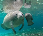 次の記事: フロリダのマナティと泳ぎに行こう!