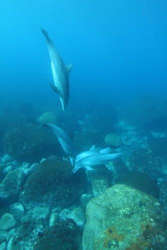 御蔵島のイルカ(撮影:小木万布)
