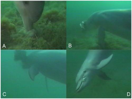 イルカの捕食