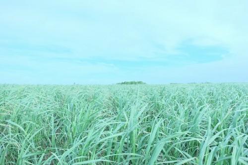 伊良部島のサトウキビ畑(撮影:むらいさち)
