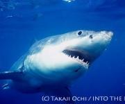 次の記事: ダイビング中、サメに遭遇して失神!? ~サメは人を襲うのか?