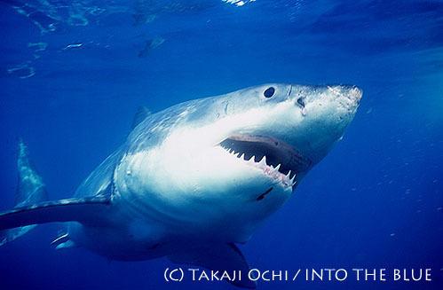 ダイビング中、サメに遭遇して失神!? ~サメは人を襲うのか?~