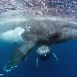 トンガホエールスイムのザトウクジラ(撮影:越智隆治)