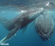 前の記事: トンガ・ババウ諸島ホエールスイム、week1はクジラだらけ!