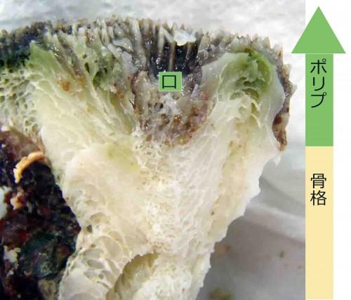 イシガキオオトゲキクメイシの断面標本(提供:座安 佑奈)