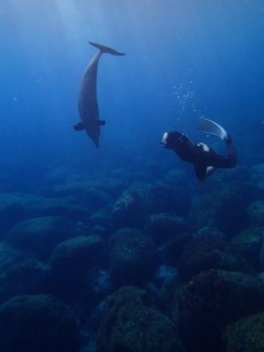 御蔵島のイルカと泳ぐいぬたく