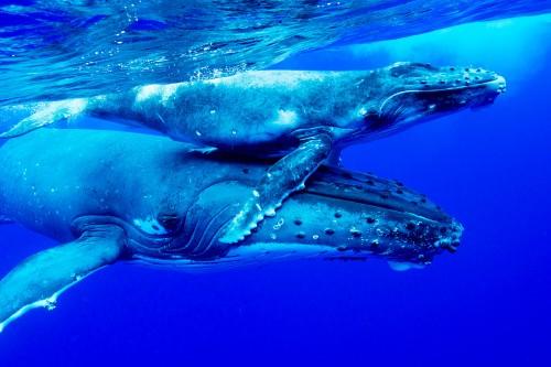 トンガのザトウクジラ(撮影:岡田裕介)