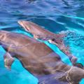 バンドウイルカの赤ちゃん(提供:新江ノ島水族館)