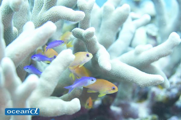 石垣島のハナゴイとキンギョハナダイの幼魚(撮影:中村卓哉)