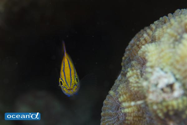 石垣島のメガネクロスズメダイの幼魚(撮影:中村卓哉)
