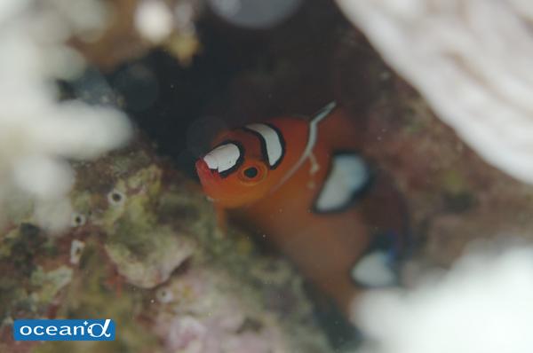 石垣島のツユベラの幼魚(撮影:中村卓哉)