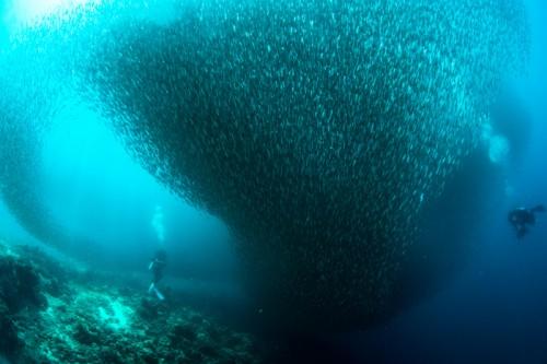 フィリピン・マクタン島のイワシの群れ(撮影:道城征央)