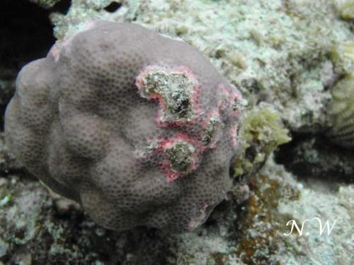 サンゴの病気:Pigmentation Response(色素形成応答)(提供:和田直久)