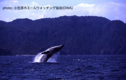 ザトウクジラのブリーチング(提供:OWA)