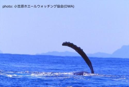 ザトウクジラのペクトラルスラップ(提供:OWA)