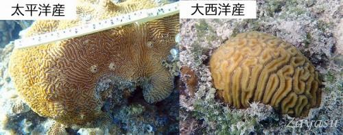 サンゴ(提供:座安佑奈)