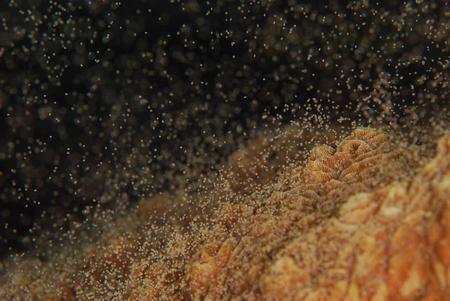 サンゴの産卵(提供:ダイビングチームうなりざき)