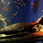 沼津港深海水族館のオンデンザメ