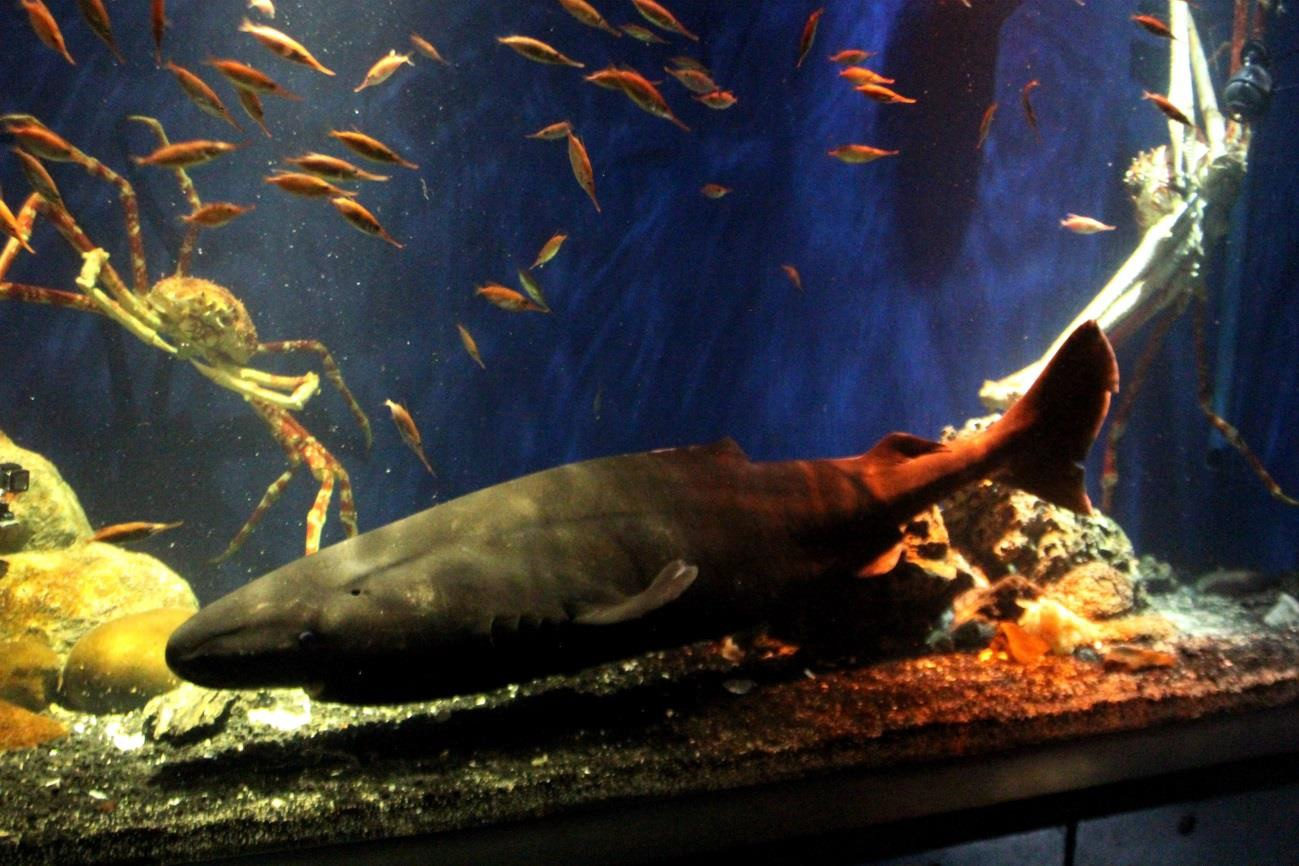 世界初展示!? 沼津港深海水族館でオンデンザメの展示開始