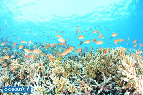 宮古島のサンゴとハナダイ(撮影:むらいさち)