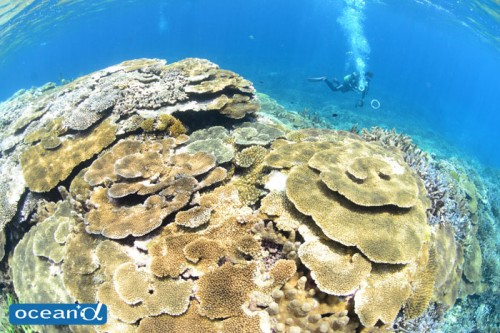 宮古島のサンゴ(撮影:むらいさち)